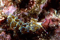 Chinese Dragon Nudibranch