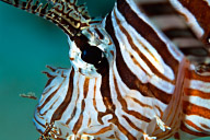 Lionfish Face