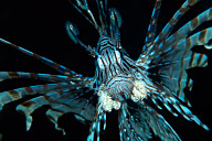 Charging Lionfish