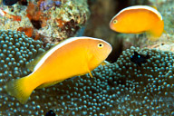 Orange Anemonefish