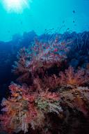 Soft Coral Scenic