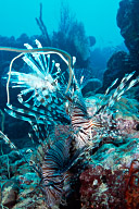Three Lionfish