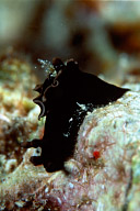 Aplysia Parvula Sea Hare