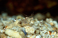Periclimenes Tenuipes Shrimp
