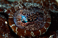 Black Crocodilefish Eye