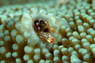Coral Hermit Crab