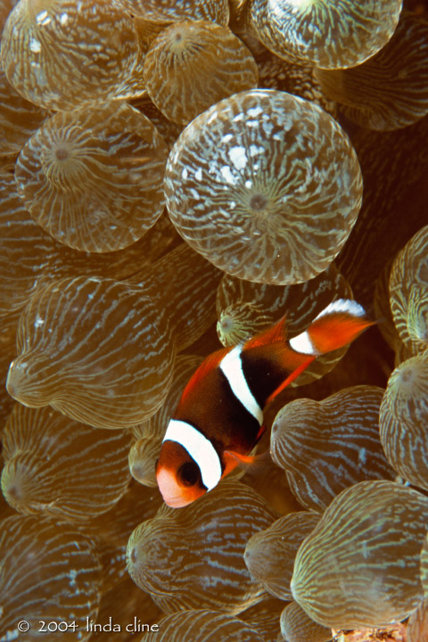 juvenile anemonefish