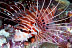 Spotfin Lionfish