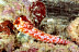 Moyer's Dragonet