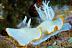 Ardeadoris egretta Nudibranch