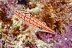 Longnose Hawkfish