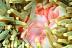 Juvenile Pink Anemonefish
