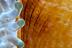 Periclimenes inornata Shrimp on Anemone