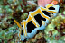 Reticulidia fungia Nudibranch