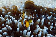 Juvenile Clark's Anemonefish