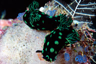 Nembrotha kubaryana Nudibranchs