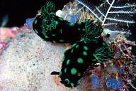 Nembrotha kubaryana Nudibranchs