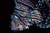 Liionfish