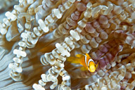 Juvenile Clark's Anemonefish in Beaded Anemone