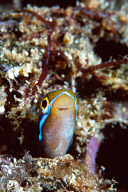 Sabretooth Blenny