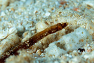 Unidentified Pipefish