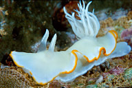 Ardeadoris egretta Nudibranch