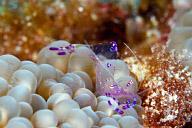 Periclimenes holthuisi Shrimp