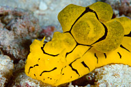 Notodoris minor Nudibranch