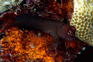Red Speckled Blenny