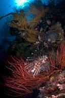 Lionfish Central