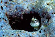 Unknown Blenny