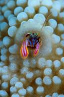 Coral Hermit Crab