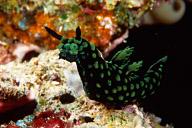 Nembrotha kubaryana Nudibranch