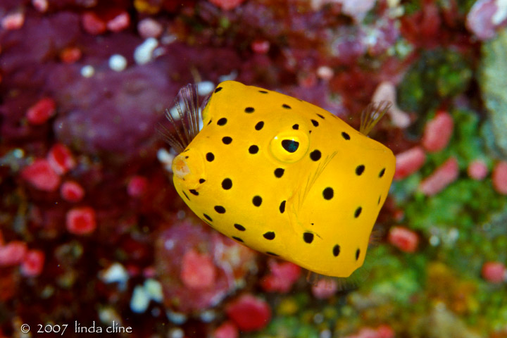 ... Boxfish, by Linda Cline (in photo gallery Solomon Islands 2006