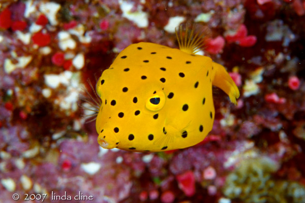 Juvenile boxfish