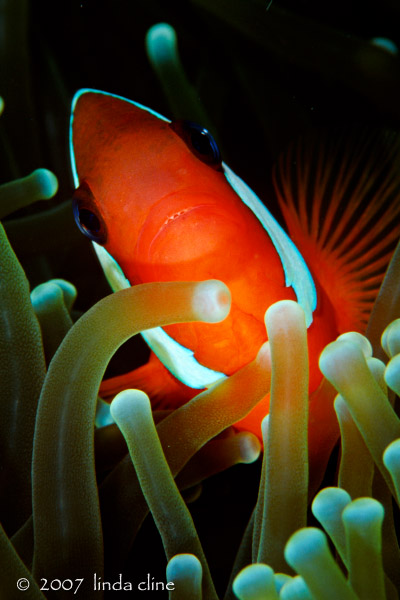 Anemonefish