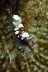 Periclimenes brevicarpalis Shrimp