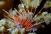 Juvenile Lionfish
