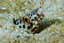 Barred Sand Conger Eel
