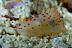 Gymnodoris ceylonica Nudibranch