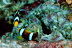 Battling Clark&#039;s Anemonefish