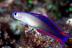 Elegant Dartfish