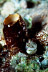 Unidentified Blenny