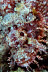 Tasseled Scorpionfish