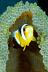 Juvenile Panda Anemonefish