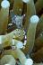 Periclimenes tosaensis Shrimp