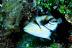 Juvenile Picasso Triggerfish