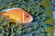 Pink Anemonefish