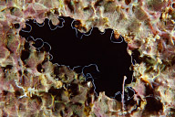 Polyclad Flatworm