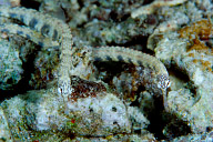 Reef Pipefish Pair
